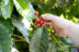 A person reaching out and holding coffee cherries on the tree