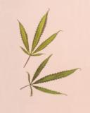 Two hemp cannabis leaves