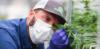 Man examining cannabis plant closely